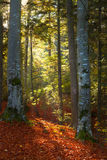 Sun rays through the trees in autumn forest Stock Photography