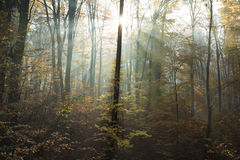 Sun rays through the trees during autumn Royalty Free Stock Images
