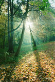 Sun rays between trees in forest Stock Photo