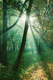 Sun rays between trees in forest Royalty Free Stock Images