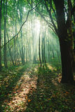 Sun rays between trees in forest Royalty Free Stock Image