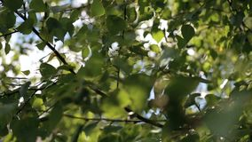 Sun rays shine through tree branches at summer. Sun rays through the trees. Sun rays shine through tree branches at summer. Trees with leaves and sun beams stock video footage
