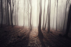 Sun rays trough fog in a mysterious forest in autumn Royalty Free Stock Photos