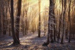 Sun rays in una foresta congelata con nebbia Immagini Stock Libere da Diritti