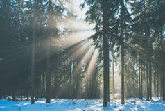 Sun rays in the winter forest Stock Image