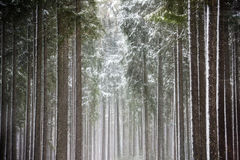 Sun rays in winter forest Royalty Free Stock Photography