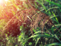 Sun Reed. Reed in the Sun, natural health, natural and beautiful Royalty Free Stock Photography