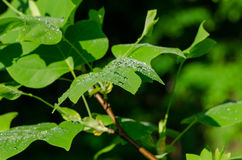 Sun reflections on tulip tree leaves morning dew Stock Photography