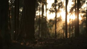 Sun reflects in the morning pine forest, romantic sunset, lovely sunrise. Magic forest, sun playing in the grass, insects swarming in the grass, crop canopy stock video footage