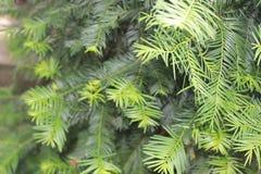 Sun refleja un momento en árbol de hoja perenne precioso de los tis fotos de archivo