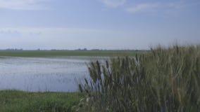 Sun on rice fields stock video