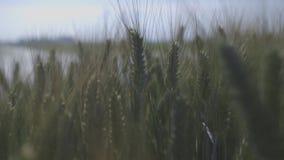 Sun on rice fields 2 stock footage