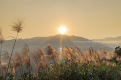 Sun rise landscape with Miscanthus at front. New Taipei City, Taiwan royalty free stock image