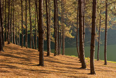 Sun rise at Pang-ung, Pine forest. In Thailand stock images