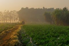 Morning scene , agriculture land - rural India. Sun rises in the background, over a green agriculture field. Rural Indian scene. Nature stock image Stock Images