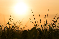 The sun rises over blades of grass Royalty Free Stock Photography