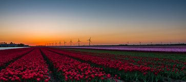 Pink and red tulips in field at sunrise Stock Photo