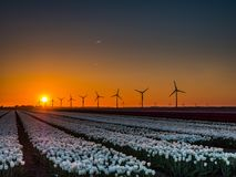 White tulips in field at sunrise Royalty Free Stock Photo