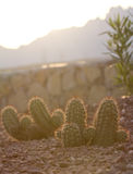 Cactus in the morning Stock Image