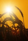 The sun rises over a wheat field Stock Image