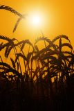 The sun rises over a wheat field Royalty Free Stock Photography