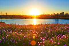 The sun rises perennial coreopsis Stock Photography