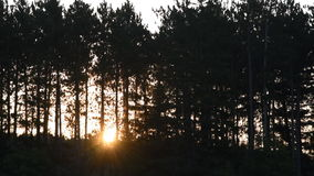 Sun Rises Through the Silhouettes of Pine Trees stock video footage