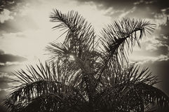 Sun rising behind palm tree in sepia. The sun is rising behind a tall palm tree, with sun rays and glowing clouds, finished in sepia Stock Photo