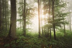 Sun rising in enchanted green forest with fog royalty free stock images
