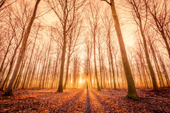 Sun is rising in the forest. Sun is rising in a forest with tall trees Royalty Free Stock Image