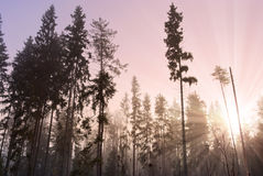 Sun rising in misty wood royalty free stock photo