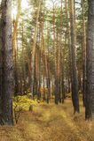 Sun rising over the autumn fir forest. Sun rising over the autumn pine forest stock photo