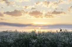 Sun rising over wild flower field Royalty Free Stock Photos