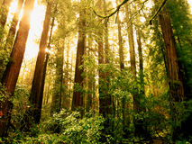 The sun rising over Muir woods. Royalty Free Stock Image