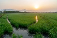 Sunrise over the rice field. royalty free stock image