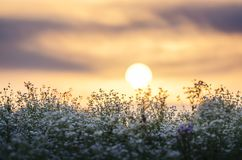 Sun rising over wild flower field Royalty Free Stock Images
