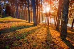 Sun rising in pine wood of pang ung maehongsorn northern of thai Stock Image