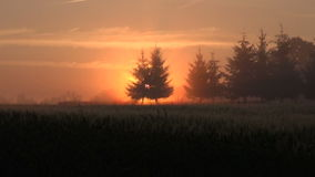 Sun rising through trees. Sun rising through young fir trees in the countryside during summer dawn stock footage