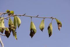 Sun a roussi des feuilles - directement Images libres de droits