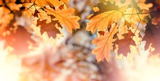 Beautiful nature in autumn - autumn leaves on tree royalty free stock photos