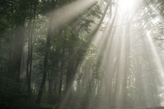 Sun's rays. Visible through the trees in the misty morning Stock Images