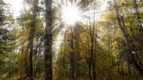 The sun`s rays in the autumn forest royalty free stock photography