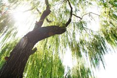 Sun's rays through the branches of willow Stock Photography