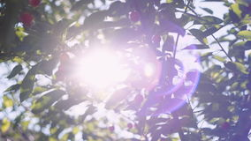 Sun`s rays breaking through the leaves of a cherry blossom tree. In the camera and creating flare in the lens. Sliding shot stock footage
