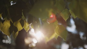 Sun`s rays breaking through the leaves of the tree. Fall into the camera and creating flare in the lens stock footage