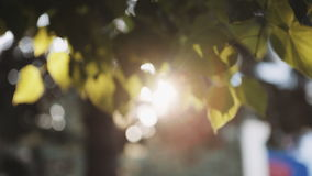 Sun`s rays breaking through the leaves of the tree. Fall into the camera and creating flare in the lens stock video footage