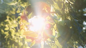 Sun`s rays breaking through the leaves of the tree. Fall into the camera and creating flare in the lens stock video