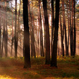 The sun's rays breaking through the trees in the forest in autum Stock Photography