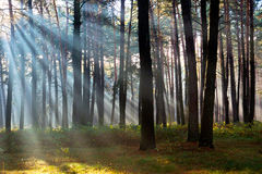 The sun's rays breaking through the trees in the pine forest Royalty Free Stock Photos