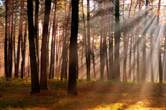 The sun's rays breaking through the trees in the pine forest in Stock Photography